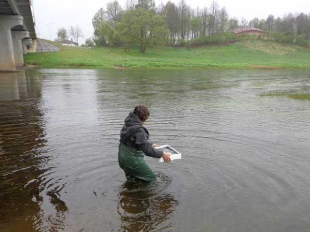 Latvijas upēs un ezeros ielaiž vairāk nekā miljons stikla zušu mazuļu